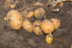 Fresh and raw potato on a field Royalty Free Stock Photos