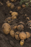 Fresh and raw potato on a field Royalty Free Stock Photo