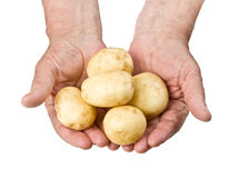 Fresh raw potato. In hands of the farmer.Isolated on white, with clipping patch Royalty Free Stock Photos