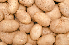 Fresh raw potatoes. Lots of fresh, clean and bright potato closeup Stock Images