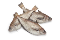 Fresh raw Pout whiting Royalty Free Stock Photo