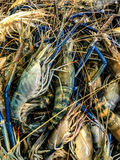 Fresh raw prawn, shrimp Royalty Free Stock Photography