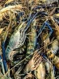 Fresh raw prawn, shrimp. Heap of Fresh raw prawn, shrimp  in the market Royalty Free Stock Photography