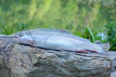 Close up of rainbow trout. Fresh raw raibow trout lying on flat stone surface royalty free stock images