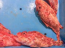 Fresh raw red fish rockfish for sale at local market in Ibiza,. Few fresh raw red fish rockfish in blue container for sale at local market in Ibiza, Spain stock image