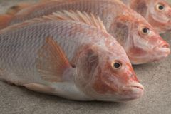 Fresh raw red tilapia fishes. Close up Stock Photography