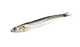 Fresh raw sardine Royalty Free Stock Photos
