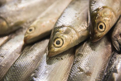 Fresh raw sardines in market stall. A portrait of fresh raw sardines in market stall Stock Image