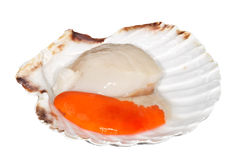 Fresh Raw Scallop. With shell. Isolated on white Stock Photos