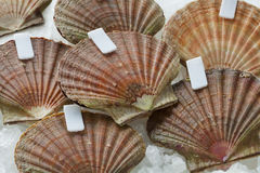 Fresh raw scallops on ice. In the shell with clips close up Royalty Free Stock Photography