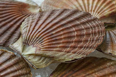 Fresh raw scallops on ice. In the shell close up Royalty Free Stock Photography