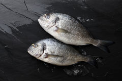 Fresh raw sea bream fish at the rock. Fresh dorado or gilthead bream on black stone background with ice Stock Images