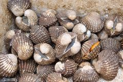 Fresh sea cockles clams display for sale at seafood market or Thai street food stock images