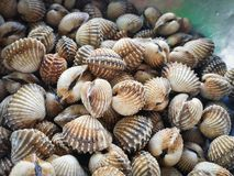 Fresh raw sea cockles clams. Display for sale at seafood market or Thai street food use for cook steamed blanched cockles clams Royalty Free Stock Photos