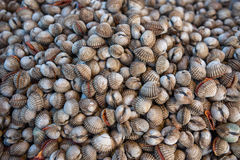 Fresh raw sea cockles clams at seafood market. Fresh raw sea cockles clams display for sale at seafood market use for cook steamed blanched cockles clams Stock Photos