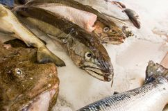 Fresh  sea fishes on crushed ice. Fresh raw sea fishes on crushed ice Royalty Free Stock Image