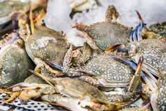 Fresh raw sea flower crab portunus pelagicus premium grade. Display for sale at seafood market Royalty Free Stock Photos