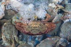 Fresh raw flower crab at seafood market. Fresh raw sea flower crab (portunus pelagicus) premium grade display for sale at seafood market Royalty Free Stock Images