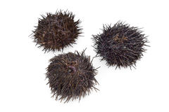 Fresh raw sea urchins Royalty Free Stock Images