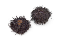 Fresh raw sea urchins Royalty Free Stock Photo