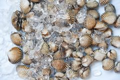 Fresh raw shellfish blood cockle seafoodon ice background - ocean gourmet in the restaurant stock photography