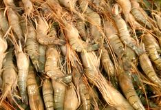 Fresh Raw Shrimp fish. Of south asia Royalty Free Stock Photos