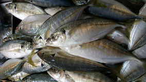 Fresh and raw silver tuna or mackerel fishes on ice. For sale Stock Photography