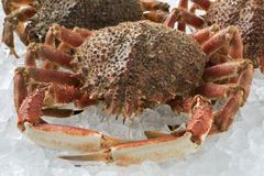 Fresh raw spider crabs on ice. Fresh raw spider crabs kept on ice close up Stock Photo