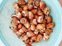Fresh raw Spotted babylon sea snail Royalty Free Stock Photo