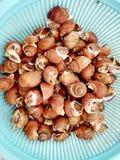 Fresh raw Spotted babylon sea snail Royalty Free Stock Image