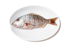 Fresh raw striped sea bream murmurs on white plate Royalty Free Stock Photo