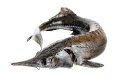 Fresh raw sturgeon fish is isolated on white background,. Closeup Stock Images