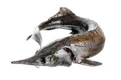 Fresh raw sturgeon fish is isolated on white background, Stock Images