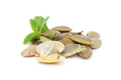 Fresh raw surf clams with sweet basil  leaf Royalty Free Stock Photo