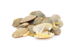 Fresh raw surf clams. On white background Stock Photography
