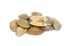 Fresh raw surf clams. On white background Stock Photos