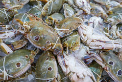Fresh and raw THREE-SPOT SWIMMING CRAB in seafood market Stock Image