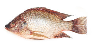 Fresh raw Tilapia fish Royalty Free Stock Images