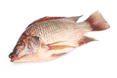 Fresh raw Tilapia fish. On white background Stock Image