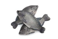 Fresh raw Tilapia fishes. On white background Royalty Free Stock Photography