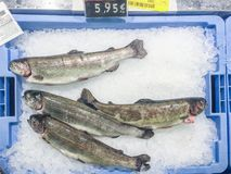 Fresh raw trout fish on ice for sale at local market in Ibiza, S. Fresh raw trout fish on ice in blue container for sale at local market in Ibiza, Spain royalty free stock images