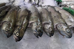 Fresh raw trout fishes. On ice Royalty Free Stock Photography