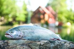 Close up of rainbow trout. Fresh raw trout lying on flat stone surface on camp lodging house and lake background stock images