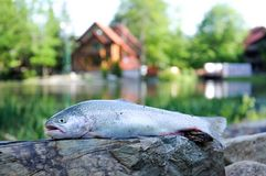 Close up of rainbow trout. Fresh raw trout lying on flat stone surface on camp lodging house and lake background royalty free stock images