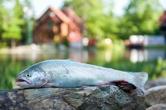 Close up of rainbow trout. Fresh raw trout lying on flat stone surface on camp lodging house and lake background royalty free stock photo