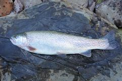 Close up of rainbow trout. Fresh raw trout lying on flat wet stone surface royalty free stock photo