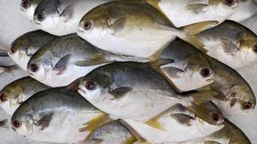 Fresh raw uncooked Golden Pomfret fishes on ice. In morning market royalty free stock photos