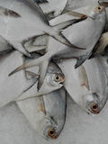 Fresh raw White pomfret fishes Stock Images