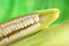 Fresh Raw White Sweet Corn. Cob sprinkled with water (Selective Focus, Focus on the front of the open corncob Royalty Free Stock Photos