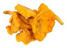 Fresh Raw Wild Girolles Mushrooms Royalty Free Stock Image
